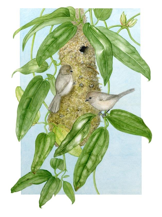 Bushtits & nest