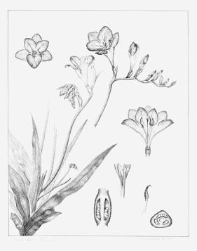 pen & ink botanical plate