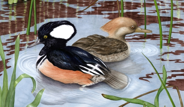 Hooded mergansers km