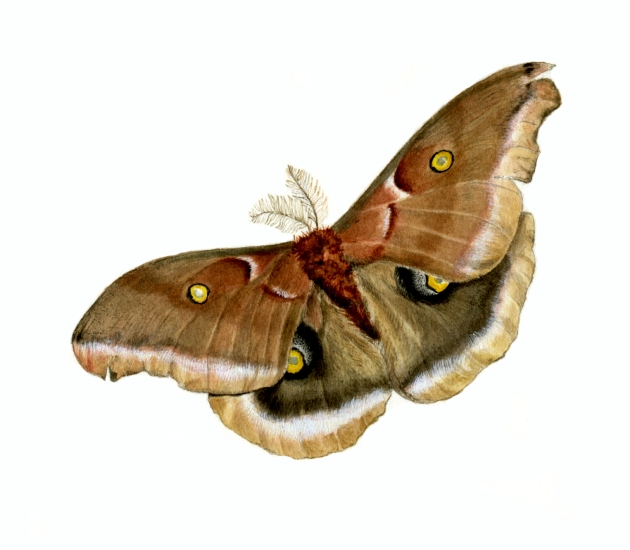 KM Polyphemus moth copy