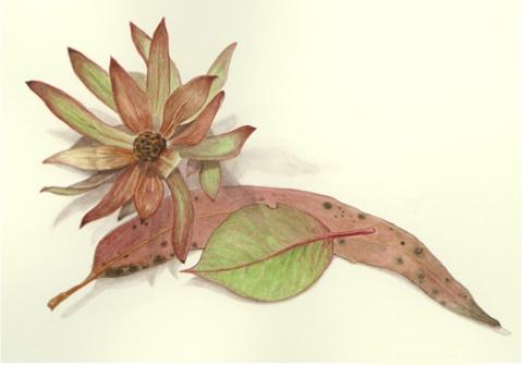 Protea and eucalyptus leaves