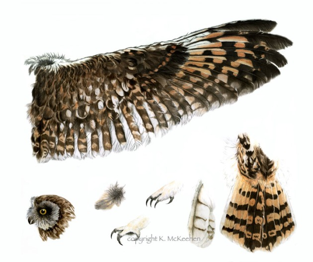 McKeehen Short-earred owl 72 flat