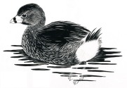 Pied grebe, ink on scratchboard