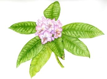 Rhododendrum macrophyllum