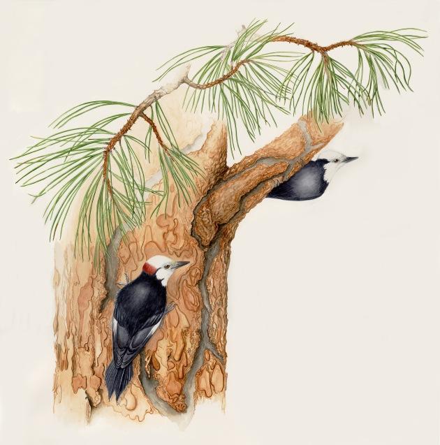 woodpecker on ponderosa